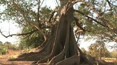 Baobab tree Stock Footage