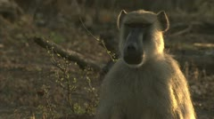 Male adult Savannah Baboon in Niassa Reserve, Mozambique. Stock Footage