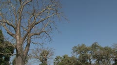 Baobab tree - stock footage