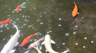 Koi and Coins Stock Footage