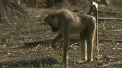 Adult Savannah Baboon foraging / eating in Niassa Reserve, Mozambique. - stock footage