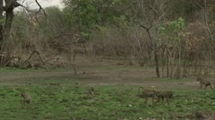 Savannah Baboon troop foraging in Niassa Reserve, Mozambique. - stock footage