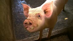 Cute pig grunting and looking in the camera - stock footage