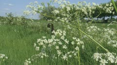Cow parsley flowering + pan 04i Stock Footage
