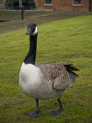 Goose walking on green grass Stock Photos