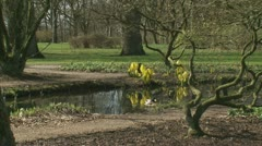 Lysichiton americanus yellow flowers at the bank of a pond tot 01i Stock Footage
