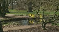 Stock Video Footage of Lysichiton americanus yellow flowers at the bank of a pond tot 01i