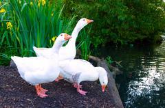 Pure white geese with orange beaks Stock Photos