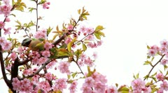 Branch with spring flowers on a cherry tree with bird. Stock Footage