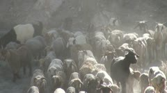 Herding sheep in village of Northern Pakistan Stock Footage