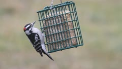 Downy Woodpecker (Picoides pubescens) on a suet feeder Stock Footage