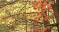 Site of the wood, tree branch with the bright dried-up leaves  HD 720 Footage