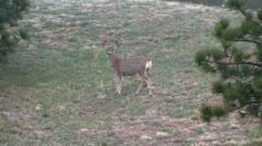Mule deer in the wild 3 Stock Footage