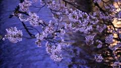 Evening. Blooming Sakura in Kyoto. Stock Footage