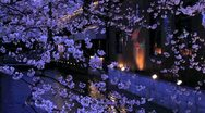 Stock Video Footage of Evening. Blooming Sakura in Kyoto.