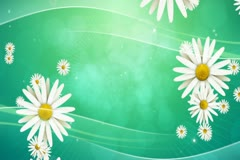 Daisies on Green Background 02 Widescreen Stock Footage