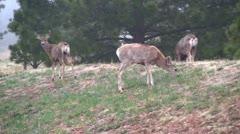 Mule deer in the wild 4 Stock Footage