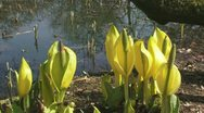Stock Video Footage of Lysichiton americanus yellow flowers at the bank of a pond ht 02i