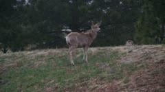 Mule deer in the wild 5 Stock Footage