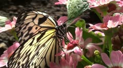 TREE NYMPH BUTTERFLY - MACRO Stock Footage