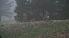 Mule deer in the wild 6 Stock Footage