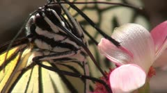 BUTTERFLY TREE NYMPH- MACRO Stock Footage