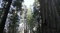 Giant Redwood trees, Calaveras Stock Footage