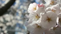 Japanese Sakura (cherry) tree flowers blooming (Macro) Stock Footage