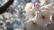 Stock Video Footage of Japanese Sakura (cherry) tree flowers blooming (Macro)