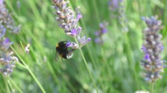 Bee on lavender Stock Footage
