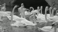 Flock of Swans BW Stock Footage