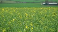 Stock Video Footage of Unripe Rape Seed in Green Farmland
