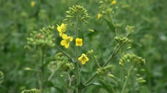 Yellow Flower of Rapeseed - stock footage
