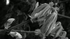 Budding Tree BW Stock Footage