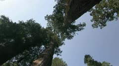 Giant Redwood trees, Calaveras - stock footage