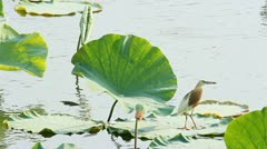 Bird on a lotus leaf. - stock footage