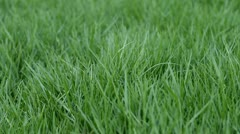 Green grass in the garden and look fresher. - stock footage