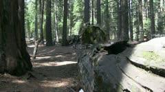 Giant Redwood trees, Calaveras Stock Footage