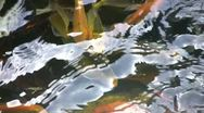 Stock Video Footage of Koi Pond Colorful Swarming Fish with Shimmering Light Dancing on Water Artistic