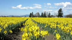 Field of daffodils Stock Footage