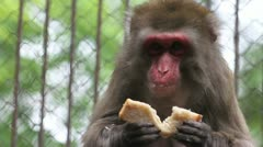 Japanese macaque eating bread, C.U. Stock Footage