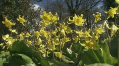 Erythronium Pagoda yellow flowers dog's-tooth violet  02i Stock Footage