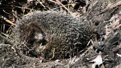 Stock Video Footage of Hibernating hadgehog in nest