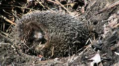 Hibernating hadgehog in nest Stock Footage
