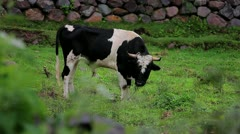 Cow in the Sacred Valley, Peru Stock Footage