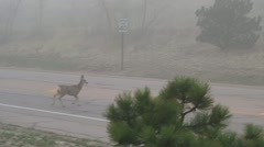 Mule deer crossing the road 1 Stock Footage
