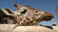 Giraffe at the zoo 1 - stock footage
