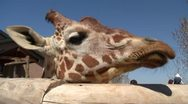 Stock Video Footage of Giraffe at the zoo 1