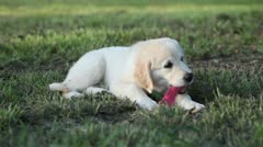 Golden retriever puppy playing with cloth Stock Footage