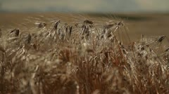 Grain - barley waving in the wind 5 - stock footage